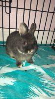 Netherland Dwarf rabbit Rabbits for sale in Lithia, FL, USA. price: NA