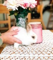 Netherland Dwarf rabbit Rabbits for sale in West Chester, PA, USA. price: NA