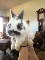 Netherland Dwarf rabbit Rabbits for sale in Lincoln, NE, USA. price: NA