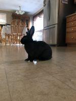 Netherland Dwarf rabbit Rabbits for sale in Hudson, NH 03051, USA. price: NA