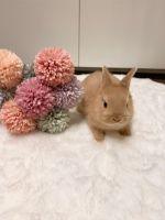 Netherland Dwarf rabbit Rabbits for sale in Orlando, FL, USA. price: NA