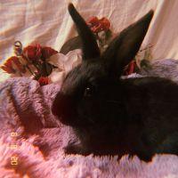 Netherland Dwarf rabbit Rabbits for sale in Chino Hills, CA, USA. price: NA