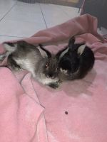 Netherland Dwarf rabbit Rabbits for sale in East Stroudsburg, PA 18302, USA. price: NA