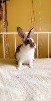 Netherland Dwarf rabbit Rabbits for sale in Eagleville, PA, USA. price: NA