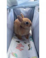 Netherland Dwarf rabbit Rabbits for sale in Corona, CA, USA. price: NA