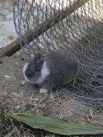 Netherland Dwarf rabbit Rabbits for sale in Lynwood, CA, USA. price: NA