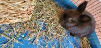 Netherland Dwarf rabbit Rabbits for sale in Allen Park, MI 48101, USA. price: NA