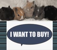 Netherland Dwarf rabbit Rabbits for sale in Aurora, CO, USA. price: NA