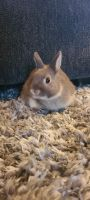 Netherland Dwarf rabbit Rabbits for sale in Sycamore, OH 44882, USA. price: NA