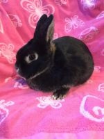 Netherland Dwarf rabbit Rabbits for sale in Monmouth County, NJ, USA. price: NA