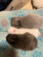 Netherland Dwarf rabbit Rabbits for sale in Hopewell, PA 16650, USA. price: NA