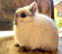 Netherland Dwarf rabbit Rabbits for sale in Frazier Park, CA 93225, USA. price: NA
