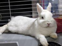Netherland Dwarf rabbit Rabbits for sale in Anaheim, CA 92801, USA. price: NA