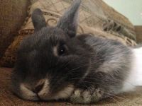 Netherland Dwarf rabbit Rabbits for sale in Greenville, SC 29607, USA. price: NA