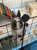 Netherland Dwarf rabbit Rabbits for sale in Secaucus, NJ, USA. price: NA