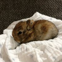 Netherland Dwarf rabbit Rabbits for sale in Ashley, OH 43003, USA. price: NA