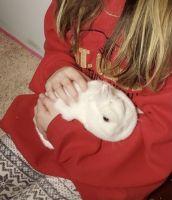 Netherland Dwarf rabbit Rabbits for sale in Flanders, Mt Olive, NJ 07836, USA. price: NA