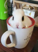 Netherland Dwarf rabbit Rabbits for sale in Salem, OR, USA. price: NA