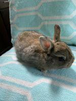 Netherland Dwarf rabbit Rabbits for sale in Clarksville, TN, USA. price: NA