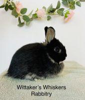 Netherland Dwarf rabbit Rabbits for sale in Gilbert, AZ, USA. price: NA