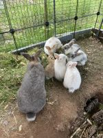 Netherland Dwarf rabbit Rabbits for sale in Wethersfield, CT, USA. price: NA