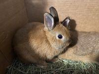 Netherland Dwarf rabbit Rabbits for sale in Sharon, MA, USA. price: NA