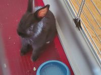 Netherland Dwarf rabbit Rabbits for sale in Edison, NJ, USA. price: NA