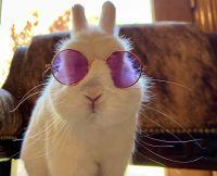 Netherland Dwarf rabbit Rabbits for sale in Frazier Park, CA 93225, USA. price: NA