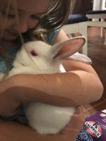 New Zealand rabbit Rabbits for sale in Broad Run, VA 20137, USA. price: NA