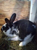 New Zealand rabbit Rabbits for sale in Warsaw, IN, USA. price: NA