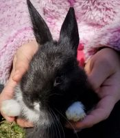 New Zealand rabbit Rabbits for sale in Blairstown, NJ, USA. price: NA