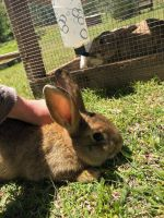 New Zealand rabbit Rabbits for sale in Fort Smith, AR, USA. price: NA