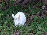 New Zealand rabbit Rabbits for sale in Pembroke Pines, FL, USA. price: NA