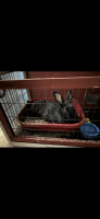 New Zealand rabbit Rabbits for sale in Hudson, OH, USA. price: NA