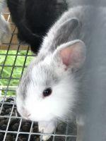 New Zealand rabbit Rabbits for sale in Miami, FL 33177, USA. price: NA