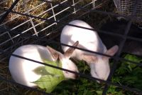 New Zealand rabbit Rabbits for sale in Groveport, OH, USA. price: NA