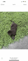 Newfoundland Dog Puppies for sale in East Point, GA 30344, USA. price: NA