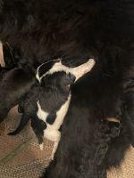 Newfoundland Dog Puppies for sale in Brunswick, GA, USA. price: NA