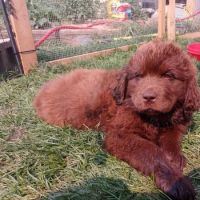 Newfoundland Dog Puppies for sale in Coeur d'Alene, ID, USA. price: NA