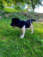 Newfoundland Dog Puppies for sale in LAUREL PARK, WV 26301, USA. price: NA