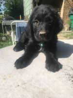 Newfoundland Dog Puppies for sale in Lockport, IL, USA. price: NA