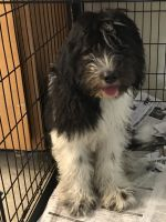 Newfoundland Dog Puppies for sale in Bronx, NY, USA. price: NA