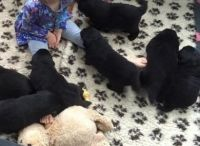 Newfoundland Dog Puppies for sale in Round Rock, TX, USA. price: NA