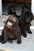 Newfoundland Dog Puppies for sale in Rialto, CA, USA. price: NA