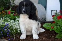 Newfoundland Dog Puppies for sale in Kansas City, KS, USA. price: NA
