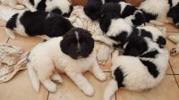 Newfoundland Dog Puppies for sale in South Miami, FL, USA. price: NA