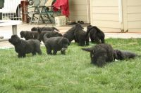 Newfoundland Dog Puppies for sale in Honolulu, HI, USA. price: NA
