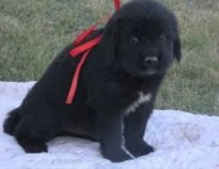 Newfoundland Dog Puppies for sale in Oregon City, OR 97045, USA. price: NA