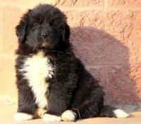 Newfoundland Dog Puppies for sale in Newark, NJ, USA. price: NA