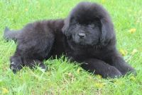 Newfoundland Dog Puppies for sale in Albert City, IA 50510, USA. price: NA